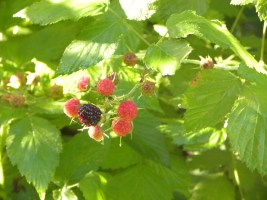 black capped raspberry at treasure lake