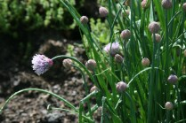 Chives with flower