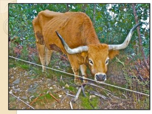 Mountain Cow in Oliveira do Hospital, Portugal in a rotational grazing situation under eucalyptus