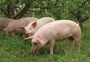 pigs in orchards, organic farm Nebraska, USA http://www.organicagcentre.ca/NewspaperArticles/tcog_2012/tcog_growing_apples_organic.asp