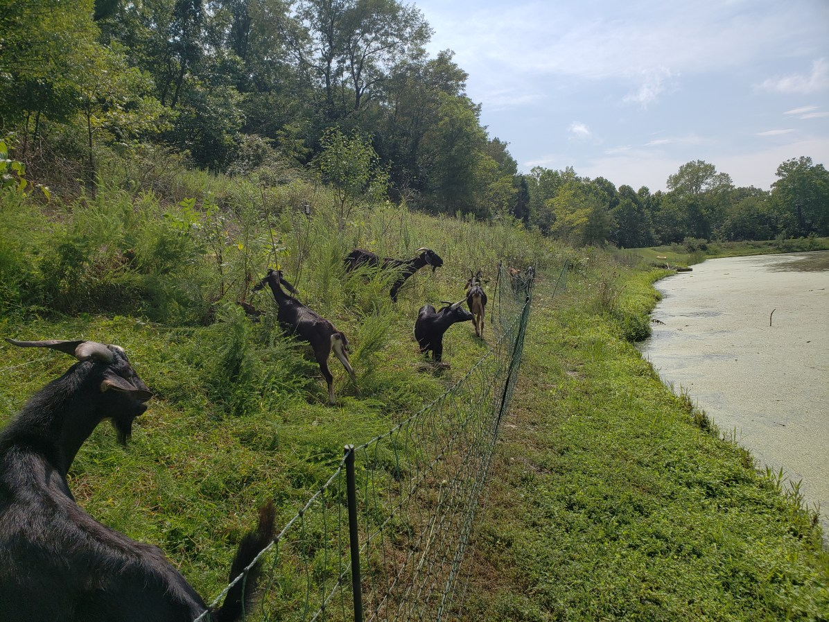 goats in electric fence paddocks on rotation, feed getting low, Treasure Lake, KY