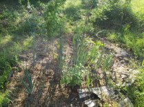 Nucleus planting, guild and berry bushes and nitrogen fixers