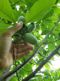Paw Paw fruit maturing in clusters