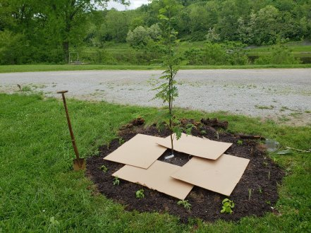 permaculture guild tree with plants planted and sheet mulching