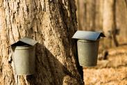 harvesting the sap old school style
