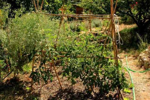 Sunken bed with tomato crop, Summer 2015