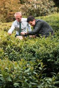 Jonathon Jones and Paul Ainsworth, Michelin Star Chef plucking tea in one of Tregothnans Tea plantations.
