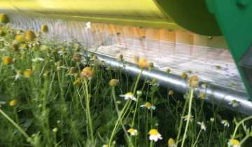 Chamomile tea production booms in the 'mini Med' heat
