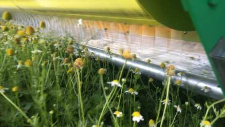 Tregothnans brand new chamomile harvester cutting just the heads from the chamomile stem