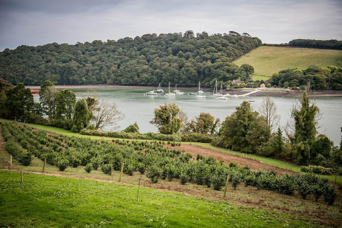 A Tregothnan Tea plantaion on the banks of the River Fal