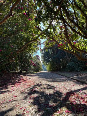 Quarter mile walk Rhododendrons