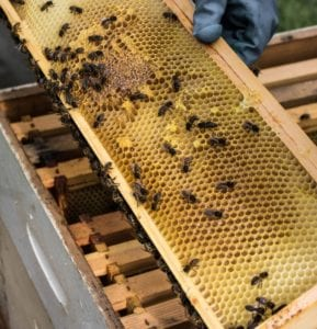 Tregothnan Bee Keeping 1