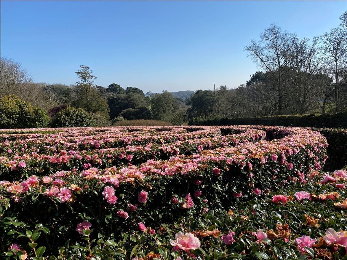 Camelia bushes in flower in the sunshine