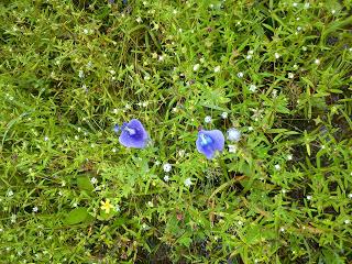 wild flowers Kas plateau satara