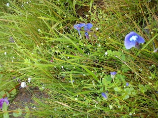 wild blue flowers Kas plateau