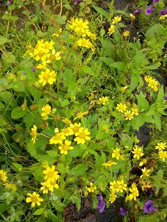 wild flowers kas pathar bamnoli satara
