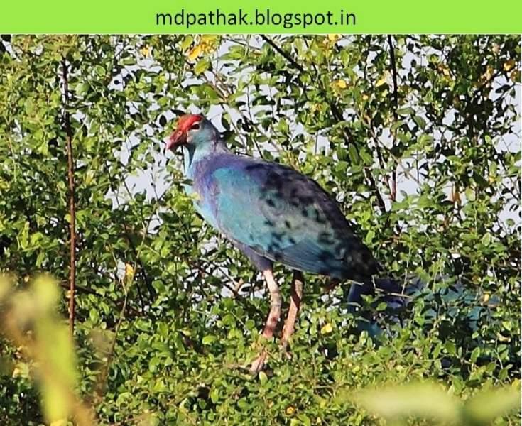 purple moor heron at bhigwan