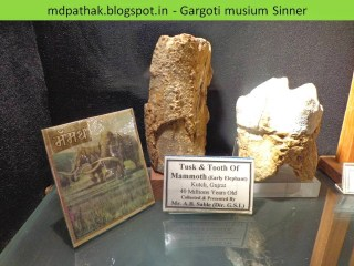 tusk and tooth of mammoth, early elephant, Kutch,Gujarat,40 million years old