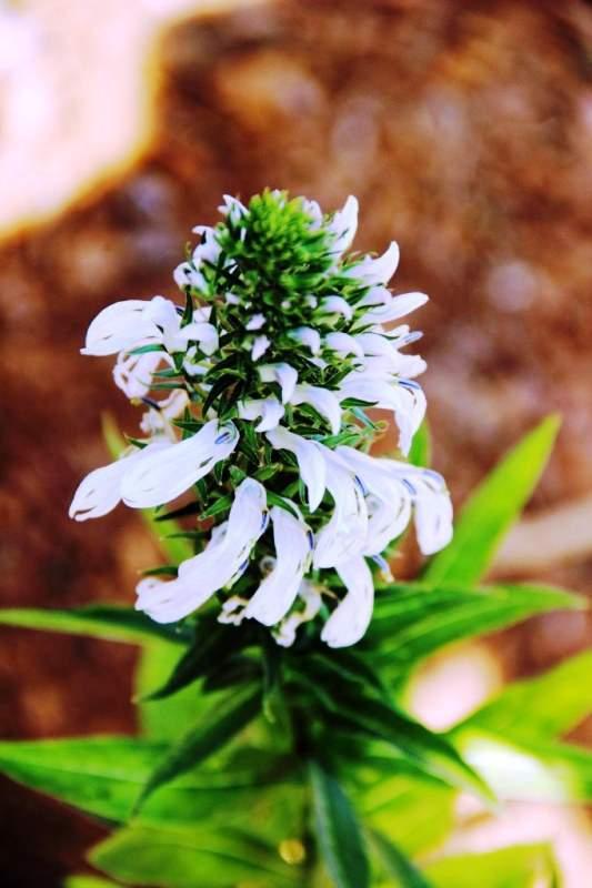 white wild flowers maharashtra