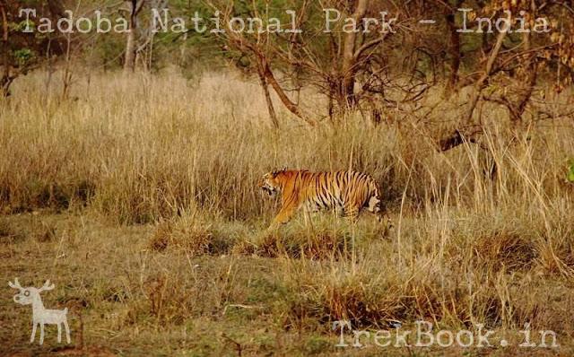 My Tadoba Jungle Safari Plan may help you