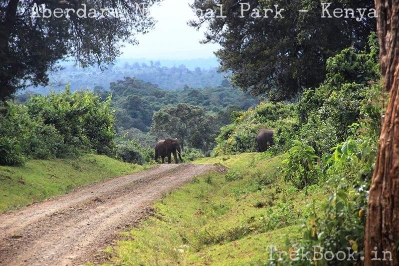 african elephant road crossing aberdare