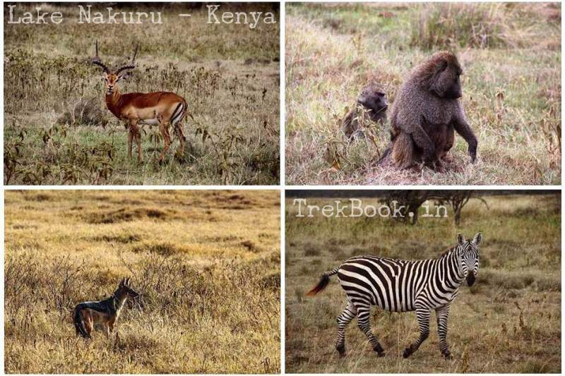 animals lake nakuru