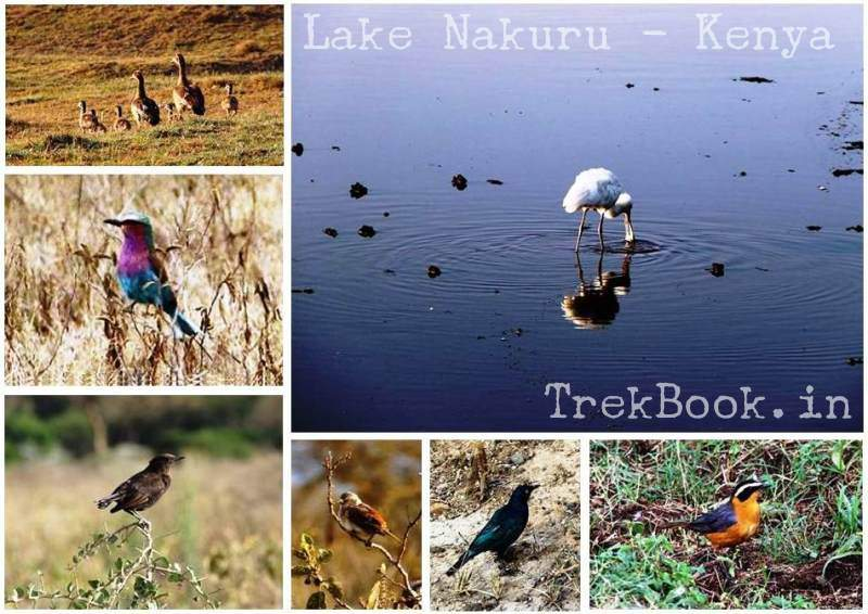 bird species at lake nakuru