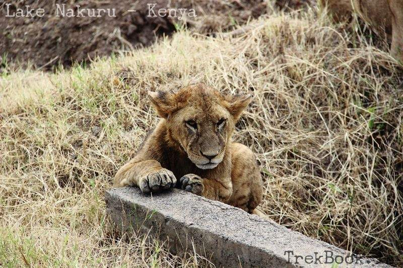 lion cub on roadside