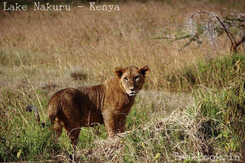 lion cub posing on roadside of lake nakuru