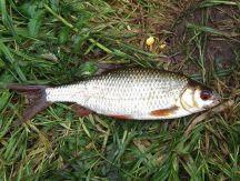 Ловля воблы: советы, фото, видео - Рыбалка на Ахтубе с ...