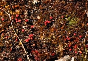 Red ground cover with berries