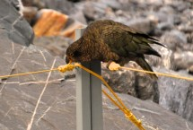 Kea trying to untie the knot