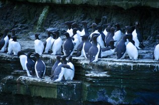 A whole bunch of guillemots (also called murre)