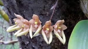 Bulbophyllum umbellatum