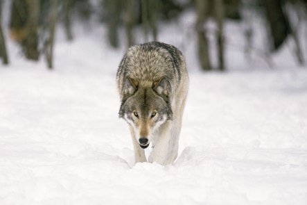 Gray wolf are endemic to snow and cold weather