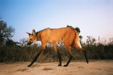 The maned wolf is the largest canid of South America. Its markings resemble those of foxes, but it is not a fox, nor is it a wolf, as it is not closely related to other canids