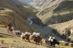 Yak Caravan passing in saldan dolpo