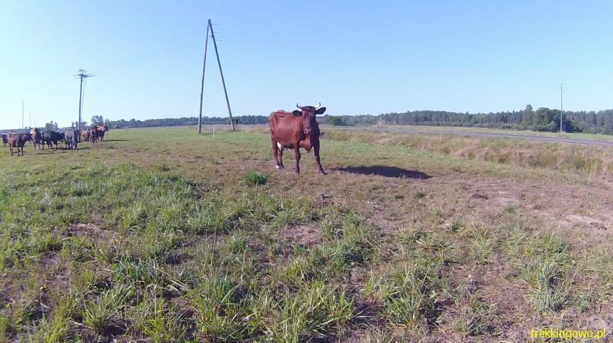 przewodnik krowa