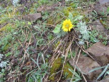 Just a couple of early balsamroot bloom around.
