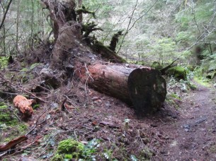 A tree Cleared from the trail