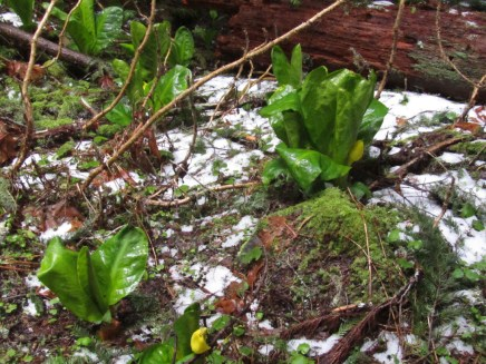 Skunk Cabbage in the snow.