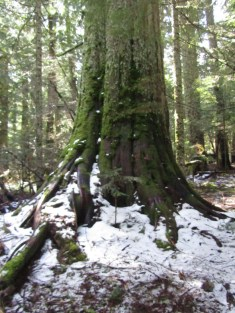 One of many giant old growth cedar in this area.