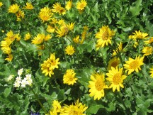 Balsamroot Flower.