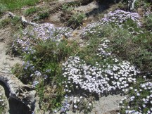 As we got up higher we found the phlox was blooming.