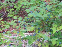 There were still lots of blue berries along the trail.
