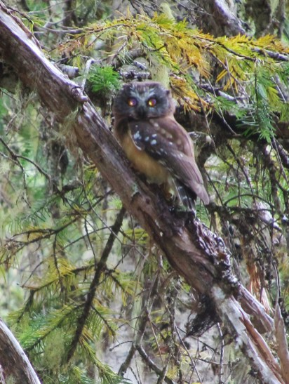 We had a rare sighting of a Pigmy Owl along the Trail.
