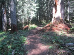 The trail winds through old growth forest.