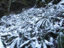 Fresh snow on ferns.