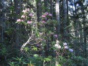 Another rhododendron in the woods.