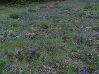 The meadow was full of larkspur in full bloom.